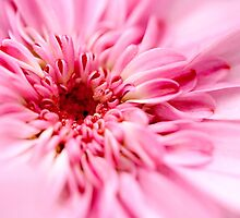 pink dream by lensbaby