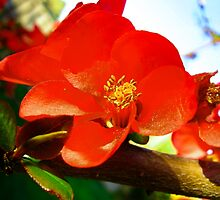Flowering Quince in the Afternoon by tanithastlik