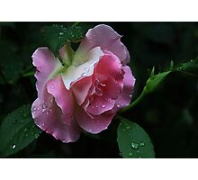 Pink -Rose Photographic Print