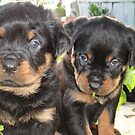 Rottweiler Puppies - Portrait by taiche