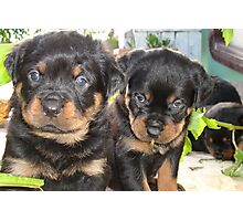 Rottweiler Puppies - Portrait Photographic Print