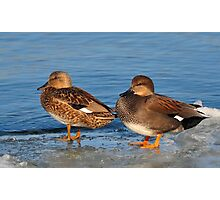 Gadwall Pair Photographic Print