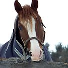 Horse Face by Judi Taylor