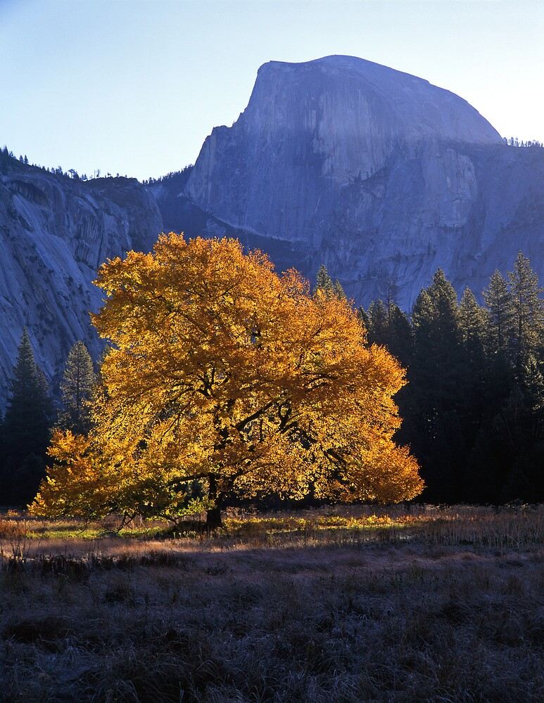 English Elm & Half Dome #2 by Mike Norton