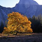 English Elm &amp; Half Dome #2 by Mike Norton