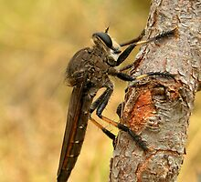 Robber fly by Stacey Pritchard
