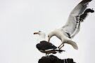 Kelp Gulls by Robert Elliott