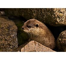 otter emerging from holt Photographic Print