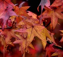 AUTUMN LEAVES - MT WILSON NSW by Bev Woodman