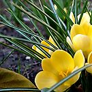 Yellow crocus by Ana Belaj