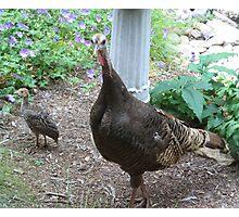 Wild Turkeys - of course Photographic Print