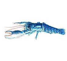 Common Lobster, Homarus gammarus watercolour Photographic Print