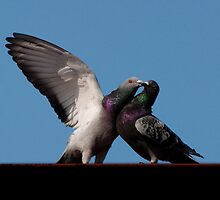 Rock Pigeons - Courtship on a steel girder by Joy Leong-Danen