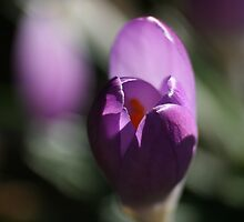 Spring Crocus by Pamela Jayne Smith