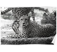 Cheetah resting on hot day in black and white Poster