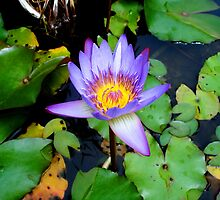 Water Lilly by kingstid
