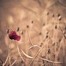Last poppy in the field by Derik128