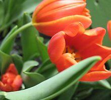 Waltzing Tulips by MarianBendeth