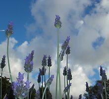 Lavender towards the sky by JewelsSmith