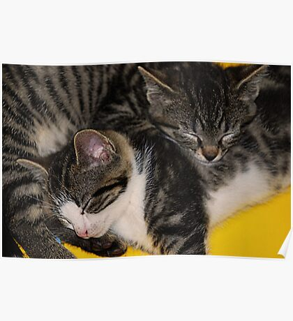 Two kittens asleep Poster