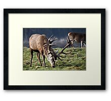 Red deer Stag in winter Framed Print