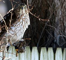 Menacing Cooper's Hawk with House Sparrow by Erik Anderson
