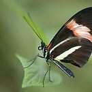 The Small Postman Butterfly Closeup by Dennis Stewart