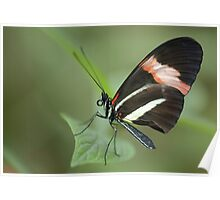 The Small Postman Butterfly Closeup Poster