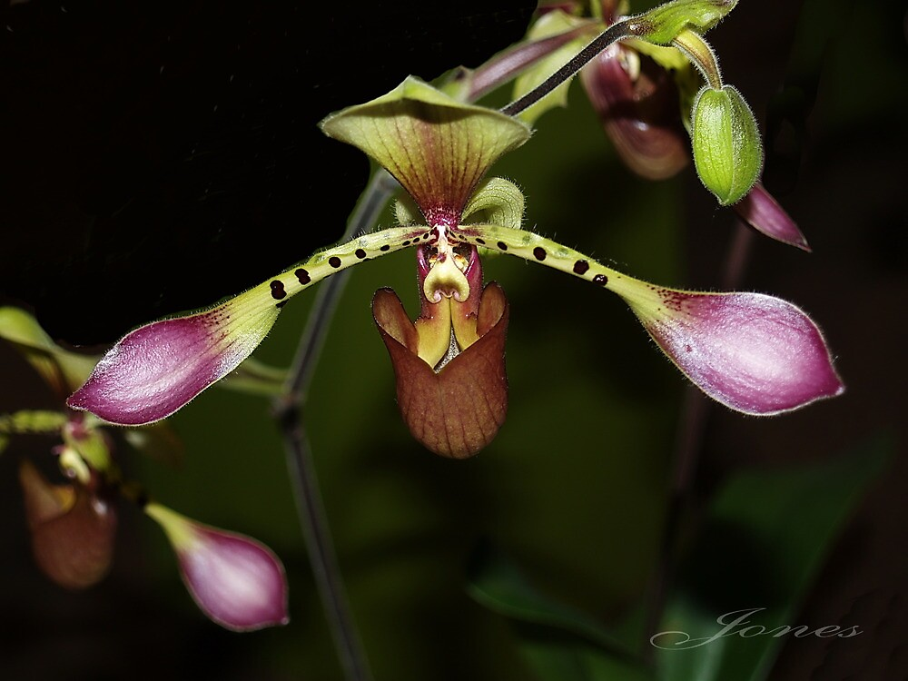 "Captivating ""Lady Slipper"" Paphiopedilum Orchid by Gail Jones"