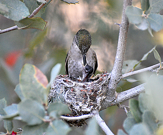 Hummingbirds Tiny Cycle of Life # 2 by Judy Grant