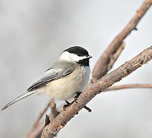 Blackcapped Chickadee Perched on a Branch by livinginoz