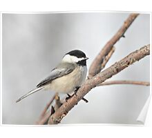 Blackcapped Chickadee Perched on a Branch Poster