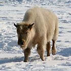 White Buffalo (Bison) by Larry Trupp