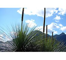 Mt Warning through the Grass Trees Photographic Print