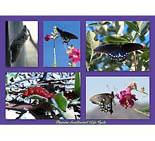 Pipevine Swallowtail Life Cycle Photographic Print