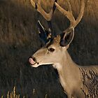 Mule deer - Yellowstone National Park by starsofglass