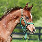 Morgan foal by lsturges