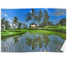 Reflections in the rice paddy Poster