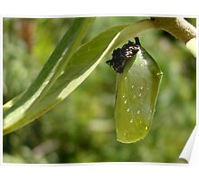 Monarch Butterfly Pupa Poster