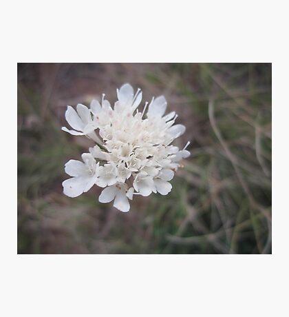 Wild fieldflower Photographic Print