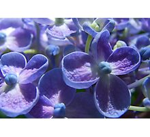 Bubble Blue Hydrangea Photographic Print