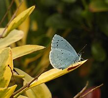 Adonis Blue by Fay Freshwater