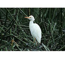 Young Egret in Reeds Photographic Print