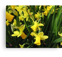 Daffodil Hope Canvas Print