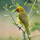 Spectacled Weaver by Tracy Riddell