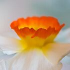Beautiful Blur  - Close Up Daffodil Bloom by Sarah Beard Buckley