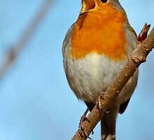 Singing Its Heart Out by Robert Abraham