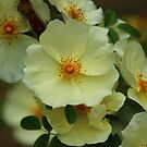 Chinese Floribunda Rose Bush by karina5