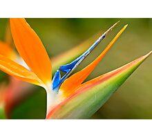 Bird of Paradise Flower Photographic Print