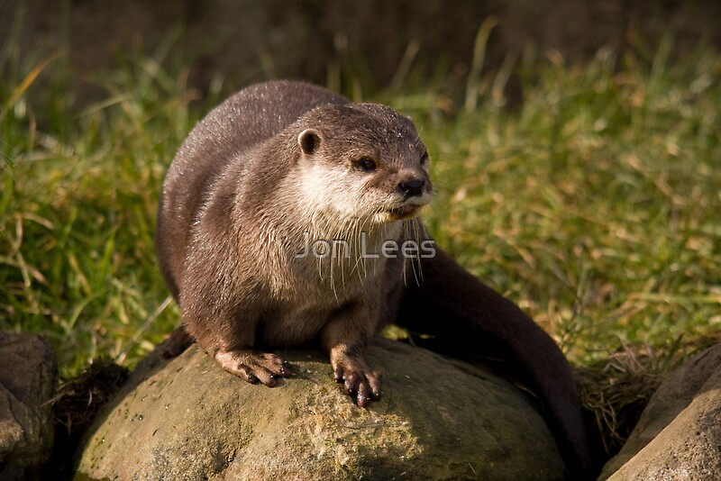 asian short clawed otter by jon lees redbubble